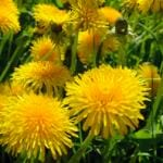 Study Shows Dandelion-Leaf Extract Blocks Covid Spike Proteins from Causing Harm