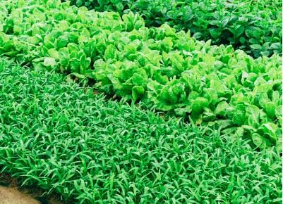 Scientists Growing Food Plants Containing mRNA and other Medicine to Replace Injections